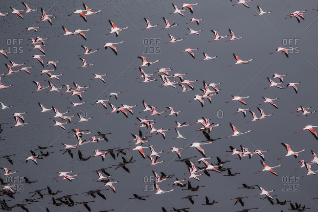 Africa, Tanzania, Aerial view of flock of Greater and Lesser Flamingos flying above salt waters of Lake Natron