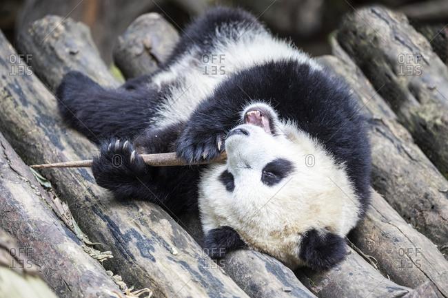 Asia, China, Sichuan Province, Mt. Qincheng Town, Giant Panda