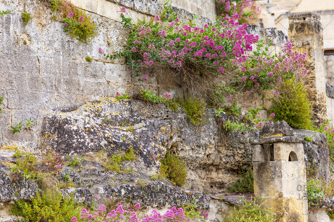 Italy, Basilicata, Province of Matera, Matera. Ancient wall with flowers growing out of cracks.