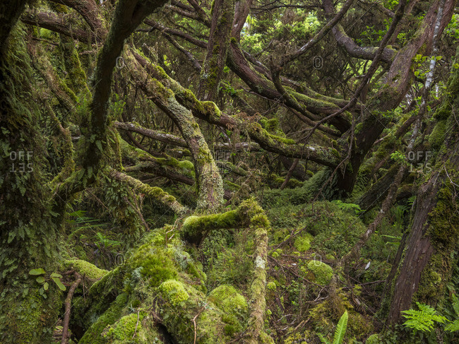 Cloud Forest with endemic vegetation. Terceira Island, Azores, Portugal.