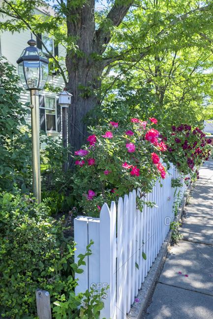 Massachusetts, USA. Garden with white picket fence.