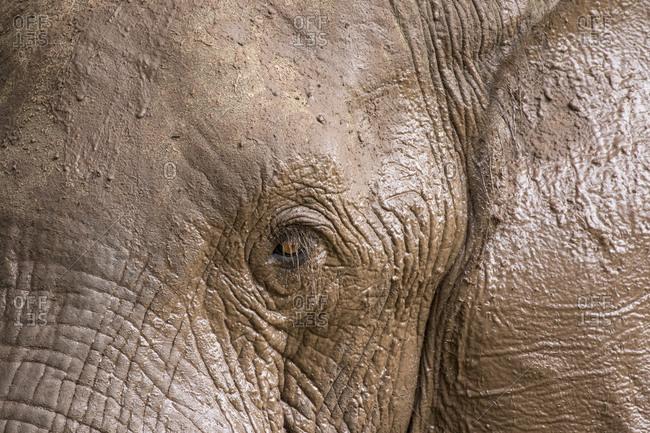 Africa, Botswana, Kasane, Close-up of mud-covered Elephant (Loxodonta africana) drinking and playing along Chobe River near Kasane