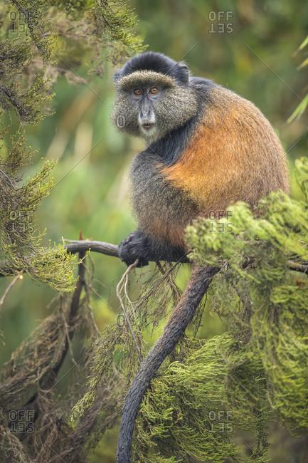 Africa, Rwanda, Volcanoes National Park, Golden Monkey (Cercopithecus kandti) on tree branch in rainforest in Virunga Mountains