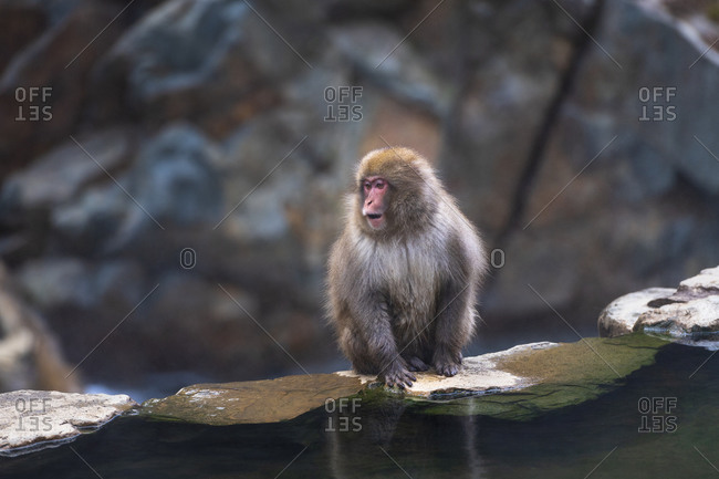 A juvenile macaque, snow monkey, sitting on a ledge alongside the hot springs making sounds, Japan