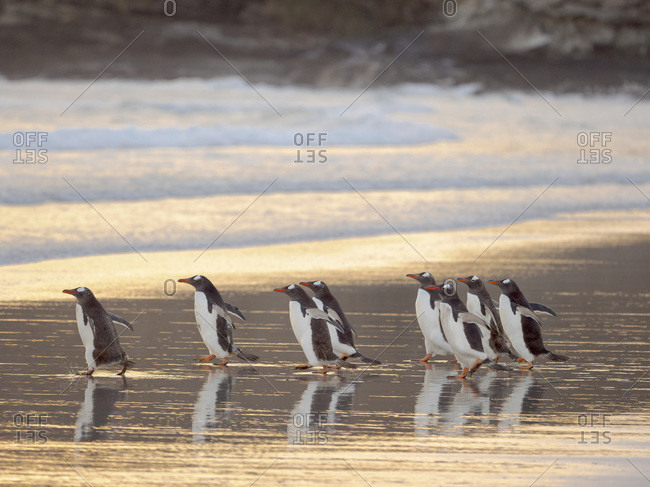 Walking to enter the sea during early morning. Gentoo penguin in the Falkland Islands in January.