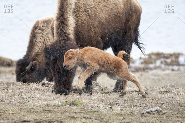 Yellowstone National Park. American bison calf runs and playing in the snow squall.