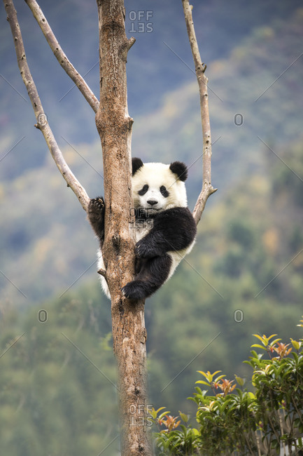 Asia, China, Wolong, Giant Panda, Part of the UNESCO Man and Biosphere Reserve Network
