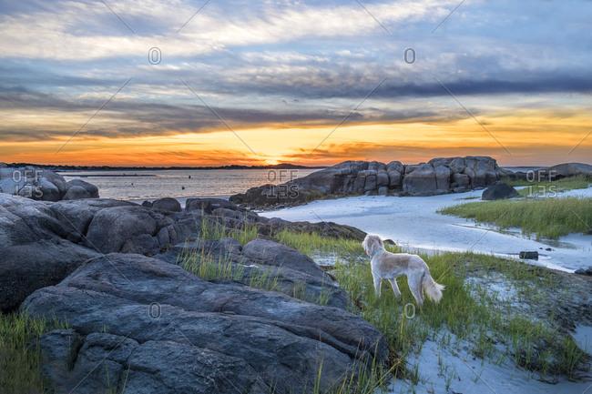Labradoodle on Lighthouse Beach, Annisquam, Gloucester, Massachusetts, USA. (PR)
