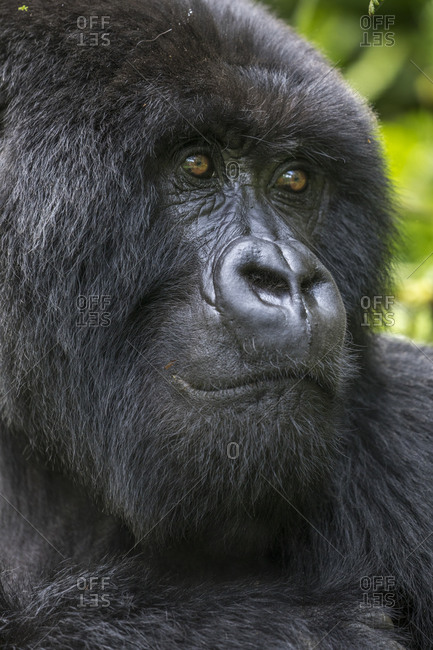 Africa, Rwanda, Volcanoes National Park, Close-up portrait of adult male Mountain Gorilla (Gorilla beringei beringei) in rainforest in Virunga Mountains