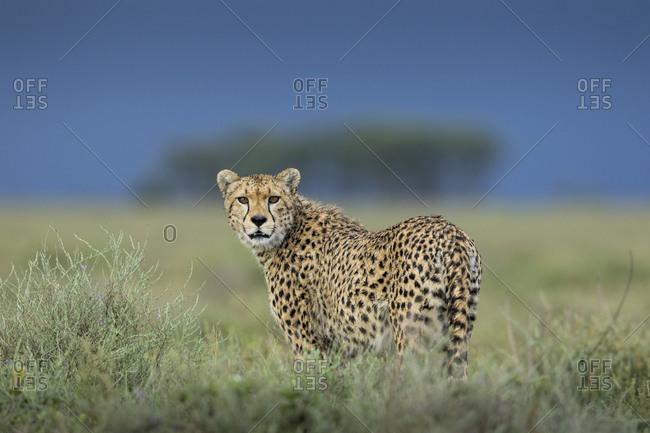 Tanzania, Ngorongoro Conservation Area, Adult Cheetah (Acinonyx jubatas) walking through grass with threatening storm clouds in distance on Ndutu Plains