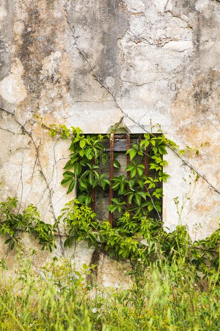 Italy, Apulia, Metropolitan City of Bari, Alberobello. A vine growing up an old stucco wall.