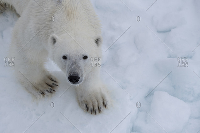 Norway, Svalbard. Close-up of polar bear face and paws.