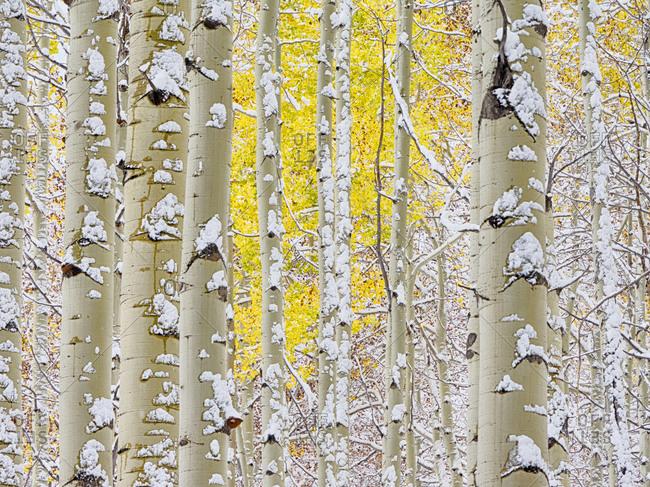 USA, Colorado, San Juan Mts. Fresh snow on aspens in the fall.
