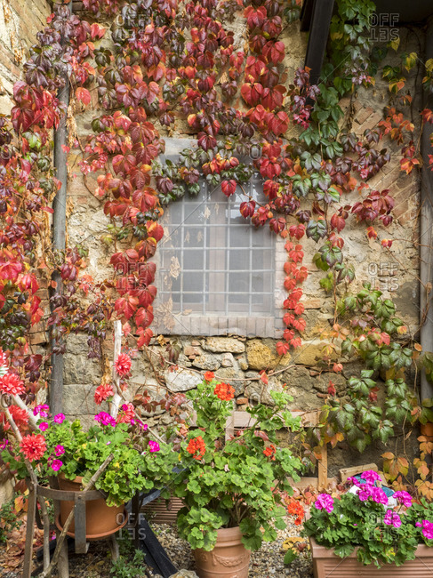 Europe, Italy, Chianti. Potted pink geraniums and fall colored climbing vine on the exterior stone wall in the walled town of Monteriggioni.