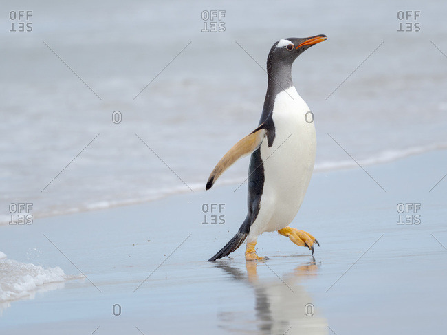 Gentoo penguin coming ashore on a sandy beach in the Falkland Islands in January.