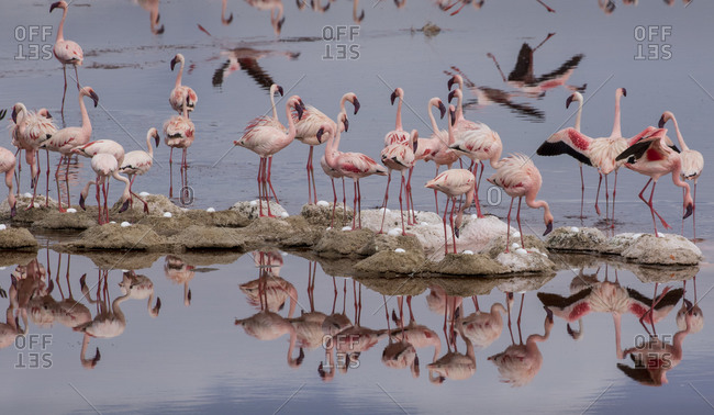 Africa, Tanzania, Aerial view of small flock of Lesser Flamingos (Phoenicoparrus minor) nesting on small island in shallow salt waters of Lake Natron