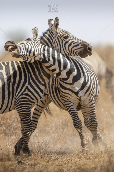 Africa, Tanzania, Ngorongoro Conservation Area, Plains Zebra (Equus burchellii) during Serengeti Migration on Ndutu Plains
