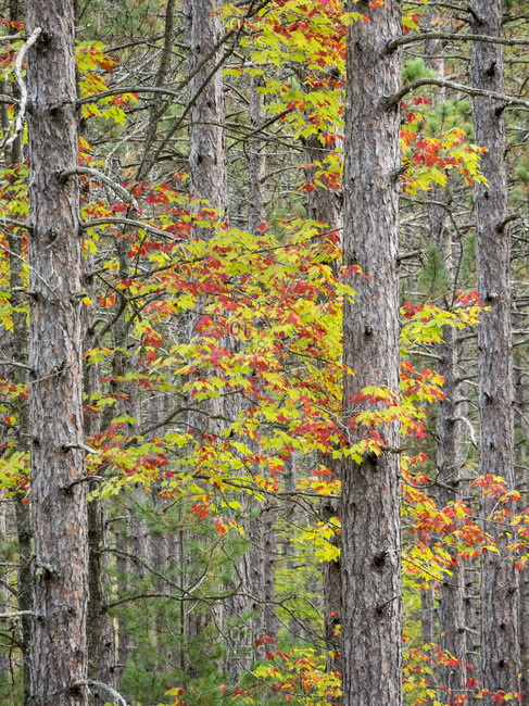 US, Michigan, Upper Peninsula. Fall foliage and pine trees in the forest.