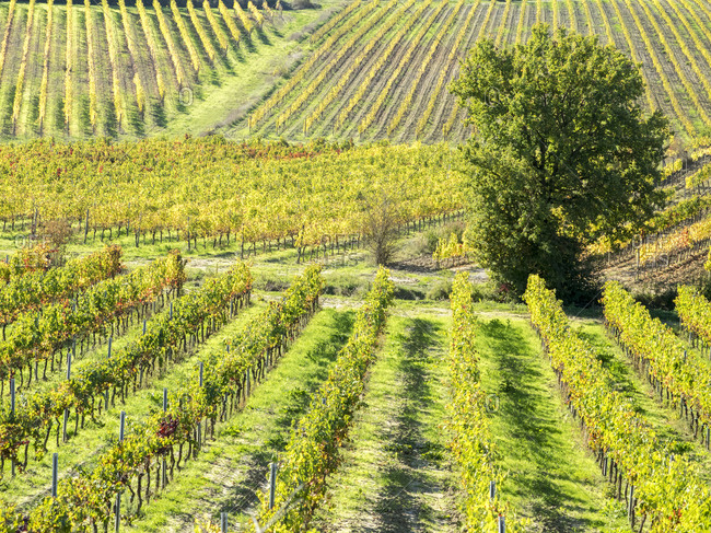 Europe, Italy, Chianti. Vineyard in autumn in the Chianti region of Tuscany.