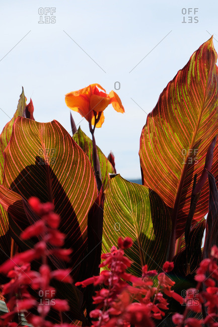 Canna lily flower and colorful leaves in the sunlight
