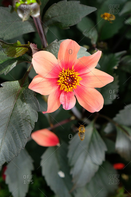 Honey bee hovering by a coral pink flower