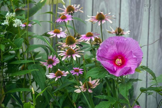 Summer garden flowers, cone flower