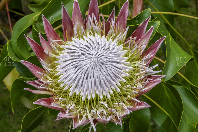 Close-up of King Protea flower