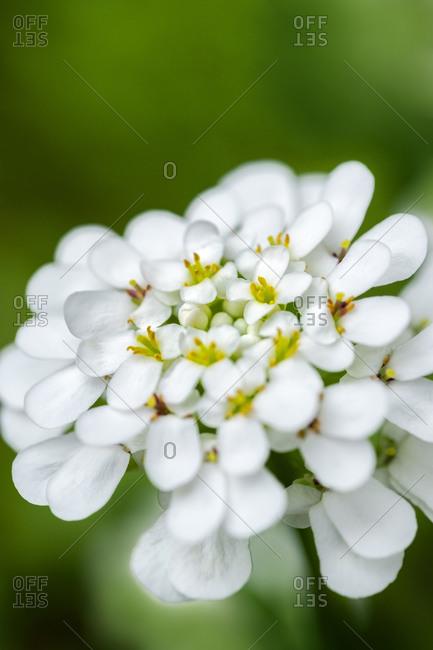 Blooming Rock cress flower, USA.