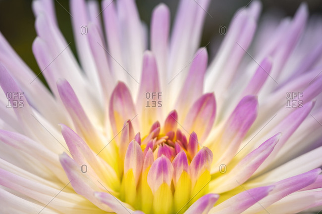 Close-up of blooming Pink dahlia, USA.