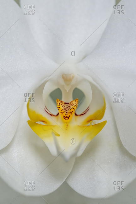Close-up of an exotic White Orchid