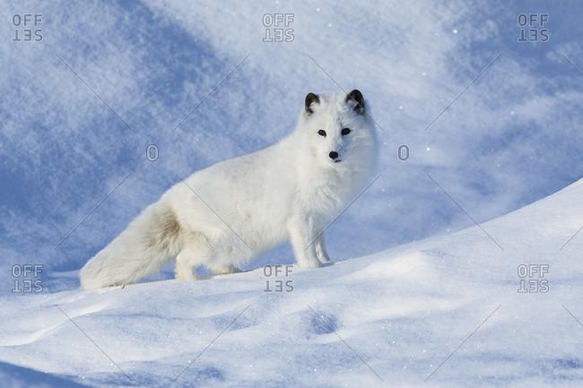 White Arctic fox against snow in winter