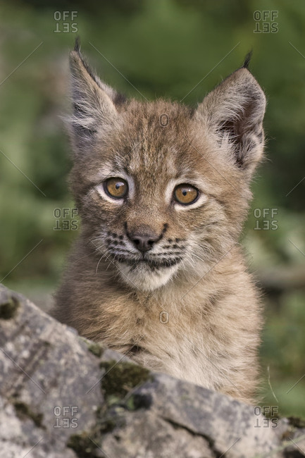 Close-up of Juvenile Canada Lynx.