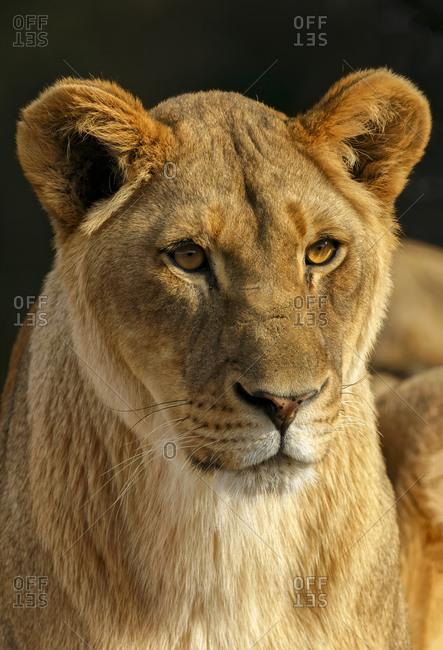 Close-up of Female Lioness, Panthera leo.