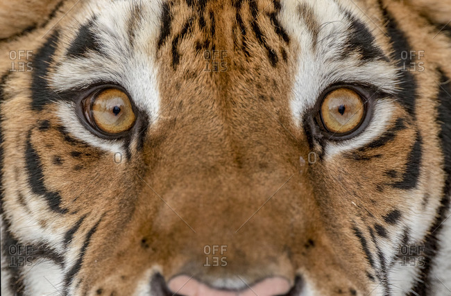 Close-up of Siberian tiger in winter.