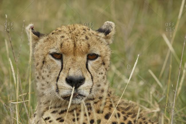 Close-up portrait of Cheetah, Serengeti National Park, Tanzania, Africa.