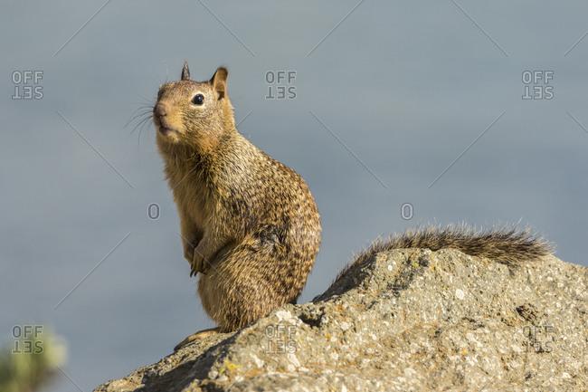 USA, California, San Luis Obispo County. California ground squirrel on rock.