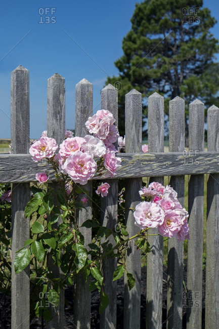 Pink rose growing on a picket fence.