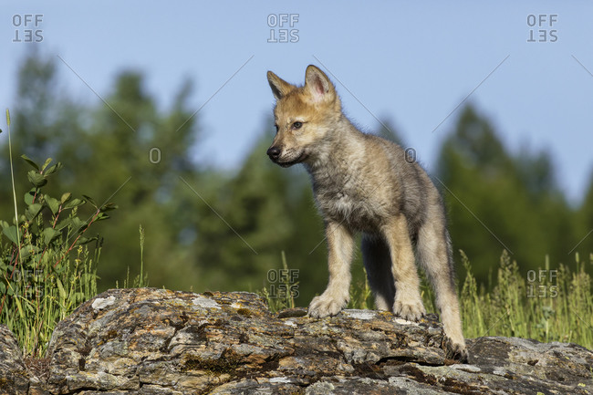 Wolf pup prowling on landscape