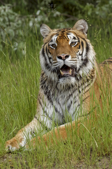 Siberian Tiger laying in grass