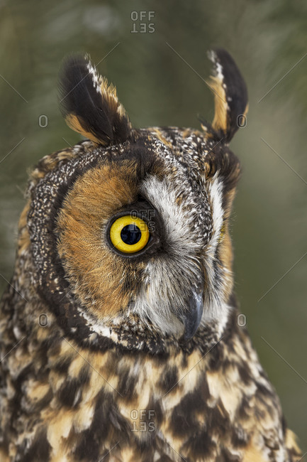 Profile of Long-eared owl in Montana.