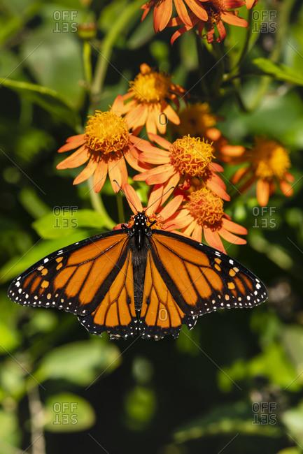 Monarch butterfly feeding on flowers