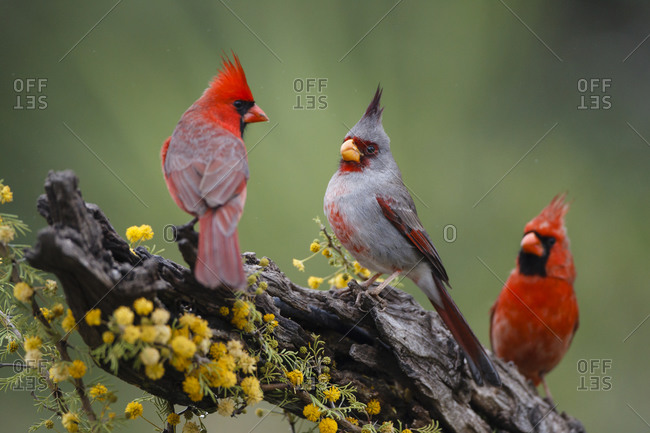Pyrrhuloxia with northern cardinals on a branch