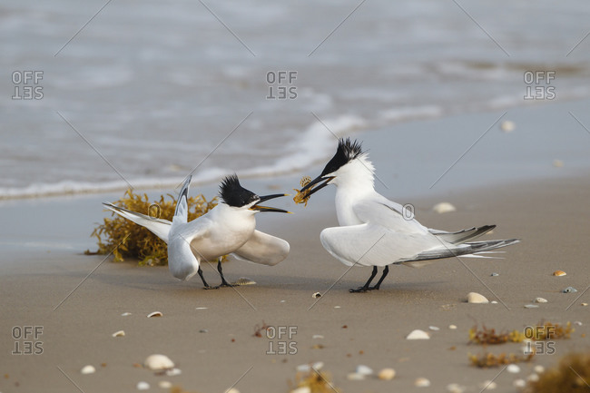 Sandwich terns pair bonding on shoreline