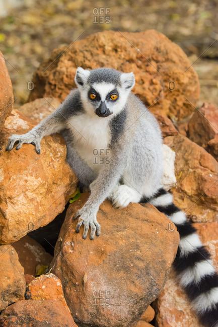 Madagascar, Berenty, Berenty Reserve. Ring-tailed lemur sitting on some rocks.
