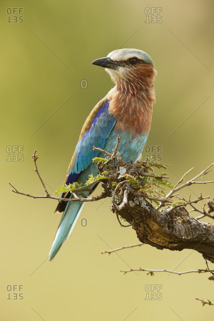 Lilac-breasted roller, Serengeti National Park, Tanzania, Africa.