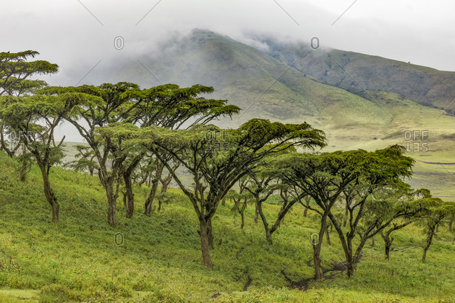 Acacia trees, Ngorongoro Conservation Area, Tanzania, Africa.