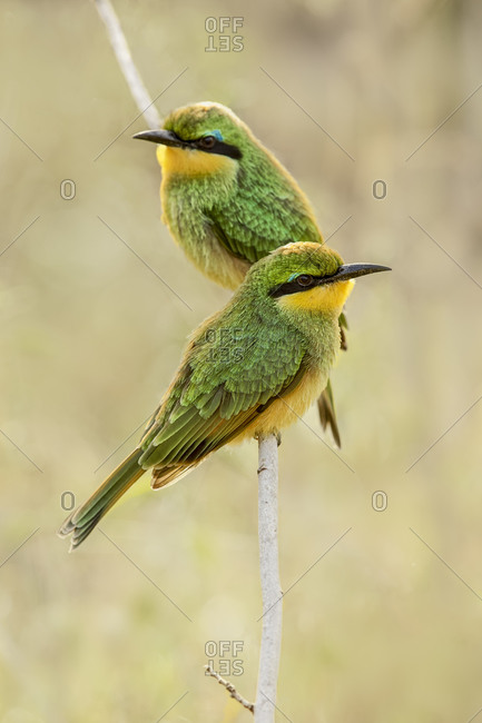 Little bee eaters, Serengeti National Park, Tanzania, Africa.