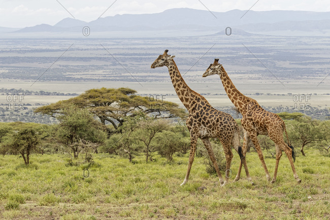 Masai Giraffe grazing on acacia tree, Ngorongoro Conservation Area, Tanzania, Arica.