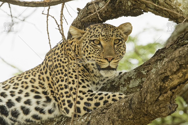African leopard in tree, Serengeti National Park, Tanzania, Africa.