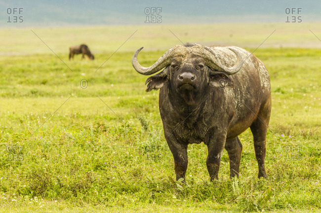Africa, Tanzania, Ngorongoro Crater. Cape buffalo in field.